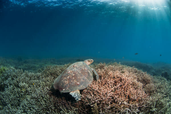 A critically-endangered hawksbill turtle at one of the healthy reefs in SIMCA