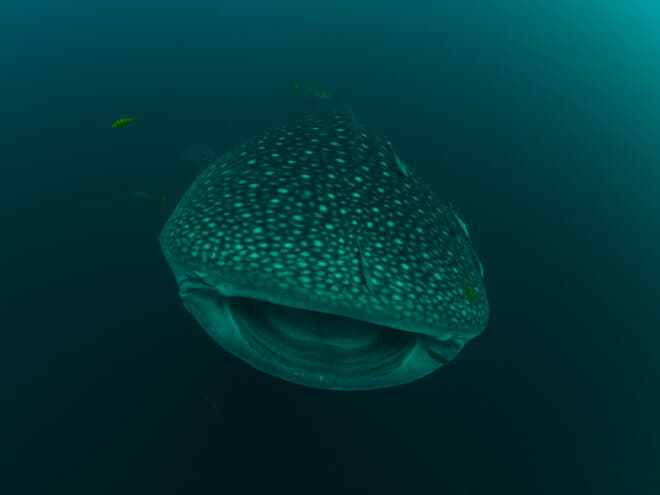 Dunia Baru - In Indonesia, whale sharks are seasonal and migratory, with Sumbawa, southeast of Moyo, one of the most popular places to spot these beautiful creatures